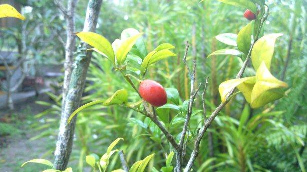 Pokok Kemuning Kuning